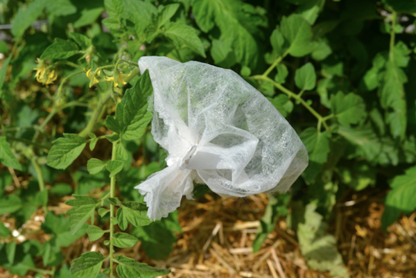 Tomato Flowers in Bag (photo credit Pat Huet)